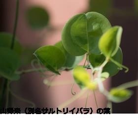 山帰来(別名サルトリイバラ)の葉